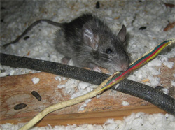 Tampa Rodent Control: chewing wires