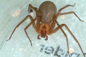 Pest Control of Tampa: brown recluse spider