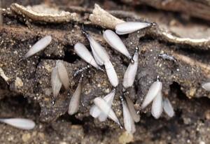 western subterranean termites tampa florida